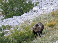 Avvistamento Orso in alta quota